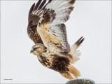 Rough Legged Hawk Take Off, West of Spokane