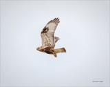 Rough Legged Hawk Fly Bye