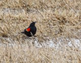 Red-winged blackbird, first sign of Spring