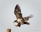 Juvenile Eagle Landing, West of Spokane
