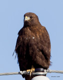 Dark Morph Red Tail Hawk