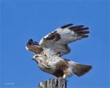 Rough Legged Hawk, Spokane County