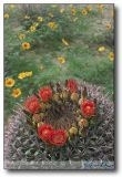 Barrel Cactus  (Ferocactus Wislizenii) with Summer Poppy