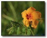 Bee on a Poppy (Kallstroemia Grandiflora)