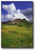 Field of Poppies (Kallstroemia Grandiflora) : Arizona