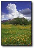 The Building Monsoon with Poppy field : Arizona