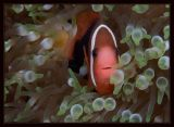 Tomato Anemonefish checking out the intruder to his world
