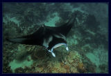 We snorkeled out to the deeper reef and found Manta's to snorkel with!