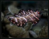 Pseudoceros bedfordi, Magic Carpet Ride, vibrantly colored flatworm by Susie