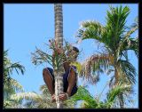 Peter on his way down with betel nut (aka: areca nut)