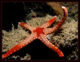 Reaching for the Stars,  Fromia nodosa  Starfish
