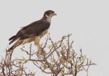 African Hawk-Eagle / Afrikaanse havikarend