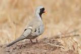 Namaqua Dove / Maskerduif