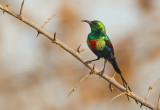 Beautiful sunbird / Feeënhoningzuiger