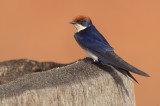 Wire-tailed Swallow / Roodkruinzwaluw