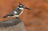 Pied Kingfisher / Bonte IJsvogel