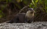 Clawless otter / Kaapse otter