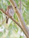 Pearl-spotted owlet / Geparelde dwerguil