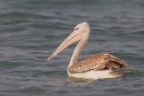 Pink-backed pelikan / Kleine pelikaan