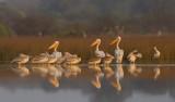 Great White Pelican / Roze pelikaan