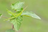 Common stick grashopper / Acrida acuminata