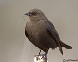blackbirds_corvids_pica