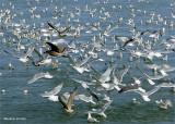 herring_run_in_sausalito