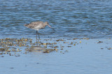 Godwit at Waipu River