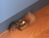 9 February 2013 - this little mouse was not clever enough at stealing the cheese