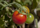 24 February 2013 - it must be a good summer, our tomatoes are ripening
