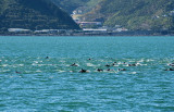 28a February 2013 - The pod of dolphins in Wellington Harbour