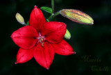RED ASIATIC LILY_7859.jpg