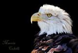 AMERICAN BALD EAGLE_1540.jpg