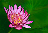 WATERLILY-_2043.jpg