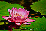 WATERLILY_2041.jpg