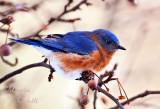 EASTERN BLUEBIRD_2675.jpg