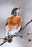 I AM PROUD TO BE AN AMERICAN ROBIN_2866.jpg