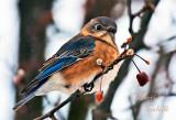 EASTERN BLUEBIRD_2652.jpg