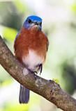 EASTERN BLUEBIRD-6457-re.jpg