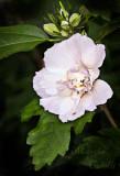 ROSE OF SHARON_9732.jpg