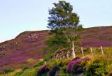 BIRCH TREE IN FIELD OF LAVENDER_4386.jpg