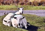 SHEEP_4355.jpg