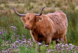 HIGHLAND COW_4236.jpg