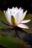 WATERLILY_4656.jpg
