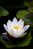 WATERLILY_4661.jpg