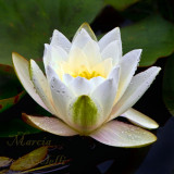 WATERLILY_4664.jpg