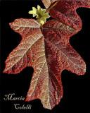 Oak Leaf Hydrangea .jpg