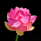 LOTUS AND WATERLILIES