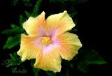 YELLOW HIBISCUS 5888 .jpg