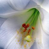 WHITE TRUMPET LILY 9298 .jpg